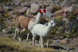 Lama unterwegs